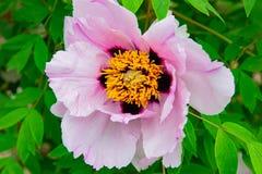 Floración rara rosada de las flores de la peonía en un fondo de peonías rosadas fotografía de archivo libre de regalías