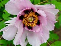 Floración rara rosada de las flores de la peonía en un fondo de peonías rosadas imágenes de archivo libres de regalías
