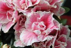Floración rizada de la azalea Imagen de archivo libre de regalías