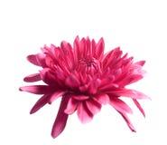 Floración roja Imágenes de archivo libres de regalías