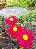 Floración roja Fotografía de archivo libre de regalías