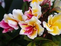 Floración roja amarilla blanca de las flores del árbol de templo Imágenes de archivo libres de regalías