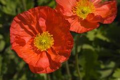 Floración roja de la amapola de Islandia Fotografía de archivo libre de regalías
