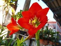 Floración roja de la amarilis Foto de archivo libre de regalías