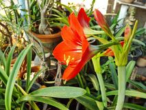 Floración roja de la amarilis Fotos de archivo