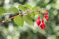 Floración roja de la flor Imagen de archivo libre de regalías