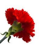 Floración roja de la flor Foto de archivo