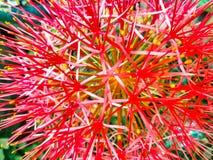 Floración roja de la flor del lirio de sangre fotos de archivo