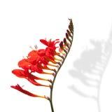 Floración roja de la fresia de la flor Fotografía de archivo libre de regalías