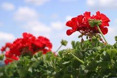 Floración roja de las flores del geranio Imagen de archivo libre de regalías