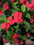 Floración roja de las flores del milii del euforbio Fotografía de archivo