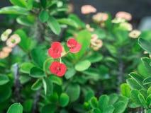 Floración roja de las flores del milii del euforbio Imagenes de archivo