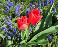 Floración roja de los tulipanes en un jardín de la primavera Imágenes de archivo libres de regalías