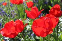 Floración roja de los tulipanes en un jardín de la primavera Imagen de archivo