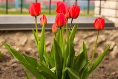 Floración roja de los tulipanes maravillosamente en la tierra Fotografía de archivo libre de regalías