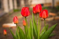 Floración roja de los tulipanes maravillosamente en la tierra Foto de archivo libre de regalías