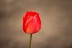 Floración roja de los tulipanes maravillosamente en la tierra Imagen de archivo libre de regalías