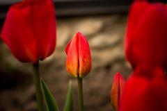 Floración roja de los tulipanes maravillosamente en la tierra Fotos de archivo