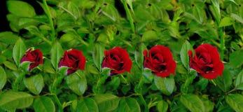 Floración roja de Rose Imagen de archivo