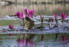 Floración roja del loto Imagen de archivo libre de regalías