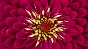 Floración roja del primer de la flor del Zinnia almacen de metraje de vídeo