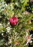 Floración roja del protea en un arbusto Imágenes de archivo libres de regalías