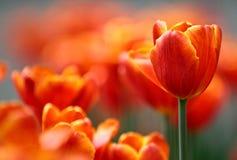 Floración roja y anaranjada de los tulipanes Fotografía de archivo