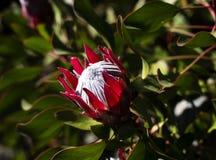 Floración roja y blanca del protea Imagenes de archivo