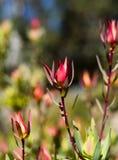 Floración rojo oscuro del protea en un campo Foto de archivo libre de regalías