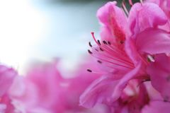 Floración rosada Imágenes de archivo libres de regalías