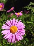 Floración rosada Imagen de archivo