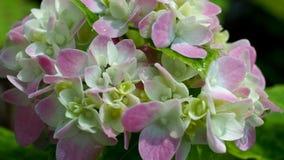 Floración rosada blanca de la hortensia Imagenes de archivo