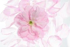 Floración rosada de la cereza Foto de archivo libre de regalías