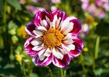 Floración rosada de la dalia Foto de archivo libre de regalías