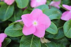 Floración rosada de la flor Foto de archivo libre de regalías