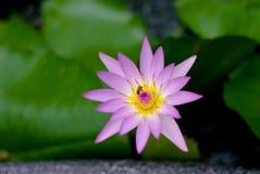 Floración rosada de la flor de loto Foto de archivo libre de regalías
