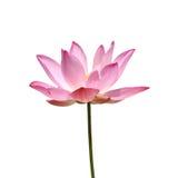 Floración rosada de la flor de loto. Fotografía de archivo