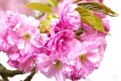 Floración rosada de la flor de Sakura Fondo blanco Fotos de archivo