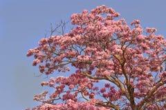 Floración rosada de la flor del árbol de trompeta Fotos de archivo libres de regalías