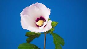 Floración rosada de la flor del hibisco metrajes