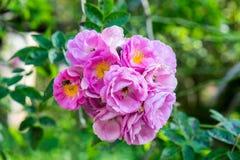 Floración rosada de la flor del manojo de la floración en árbol Fotografía de archivo