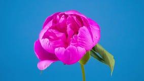 Floración rosada de la flor de la peonía