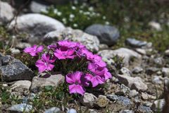 Floración rosada de la planta del clavel del clavel Fotografía de archivo