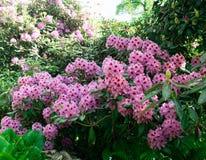 Floración rosada de las azaleas en el arbusto Imagen de archivo