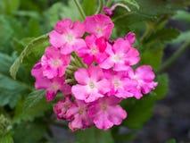 Floración rosada de las flores de la petunia Fotografía de archivo libre de regalías