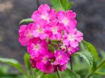Floración rosada de las flores de la petunia Fotos de archivo libres de regalías