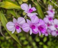 Floración rosada de las orquídeas Fotos de archivo