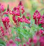 Floración rosada de los Wildflowers Imagen de archivo libre de regalías
