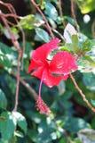 Floración rosada del hibicus Fotos de archivo libres de regalías