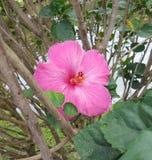 Floración rosada del hibisco en Hawaii imagen de archivo